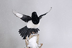 Black-billed Magpie with snow in winter Vosges France (Black-billed Magpie)