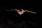 Bat in flight at night France