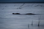 Nile crocodile swimming at night Kenya (Nile Crocodile )