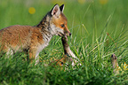 Red fox cub playing in the Vosges France� (Red fox)
