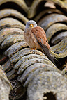 Male Lesser kestrel on a roof, Spain