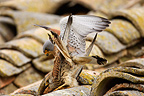 Lesser kestrels mating on a roof, Spain