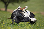 White storks fighting Ciudad Real Spain (White Stork)