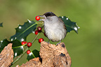 Male Blackcap eating a fruit of Holly Finistere France (Blackcap)