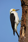 White woodpecker at the entrance of its nest Brazil (White Woodpecker)