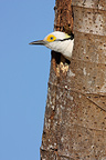 White woodpecker with the head out of its nest Brazil (White Woodpecker)