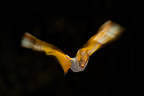 Yellow-winged Bat flying at night Kenya (Yellow-winged bat)