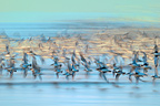 Dunlins flying Vend�e France (Dunlin)
