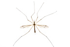 Crane fly in studio on white background