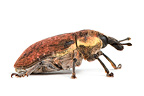 Weevil in studio on white background (weevil)