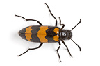 Blister Beetle in studio on white background