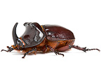 Rhinoceros beetle in studio on white background