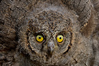 Young Common Scops-owl leaving the nest in Provence France (Eurasian scops-Owl)