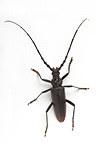 Greater Capricorn Beetle in studio on white background