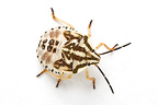 Larva of shield bug in studio on white background