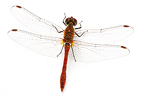 Ruddy Darter in studio on white background