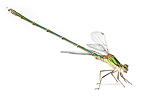 Green Emerald Damselfly in studio on white background