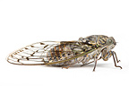 Cicada in studio on white background