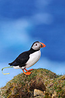 Atlantic Puffin above its burrow Shetland Scotland UK  (Atlantic Puffin)