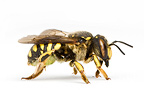 Wool Carder Bee in studio on white background