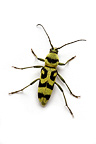 Longhorn Beetle in studio on white background