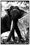 Asian male elephant with tusks impressive Sri Lanka (Asian elephant)