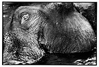 Elephant with a tumor bathing in a river Sri Lanka (Asian elephant)