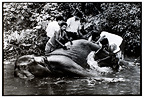 Veterinary nursing an elephant suffering Sri Lanka� (Asian elephant)