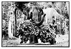 Asian Elephant carrying his food in Sri Lanka (Asian elephant)
