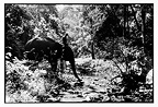Mahout and his elephant into the forest in Burma (Asian elephant)