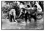 Asian elephants in a river in Sri Lanka (Asian elephant)
