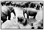 Mahout monitoring asian elephant during bathing Sri Lanka (Asian elephant)