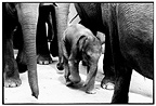Baby elephant walking in a group of Sri Lankan Elephants (Asian elephant)