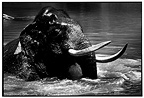 Asian Elephant bathing in a river in Sri Lanka (Asian elephant)
