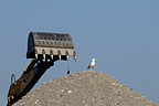 Gull standing on a pile of gravel with a digger bucket in action
