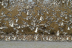 Black-tailed godwits in migration flying away (Black-tailed Godwit)