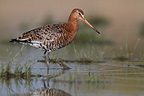 Black-tailed godwit walking in water (Black-tailed Godwit)
