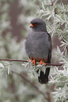 Male Red-footed falco on a branch (Red-footed Falcon)