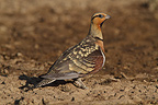 Male Pin-tailed sandgrouse on the ground Crau France (Pin-tailed Sandgrouse)