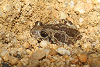 Common spadefoot burying itself in the ground