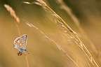 Common blue on a Gramineae in a dry meadow (Common Blue )