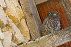 Young Little Owl on the beam of an old building (Little owl)