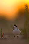 Male Kentish plover on the beach at sunset France (Kentish Plover)
