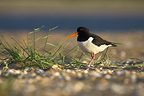 Oystercatcher on a beach covered with shells France (Oystercatcher)