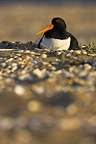 Oystercatcher nesting on a beach covered with shells France (Oystercatcher)