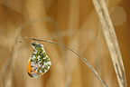 Butterfly Orange-Tip on dry grass France