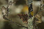 Comma Butterfly on an oak branch France