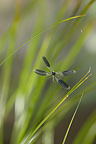 Banded demoiselle flying in grass France