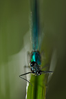 Portrait of Banded demoiselle on grass France