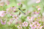 Banded demoiselle flying in flowers France